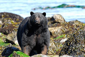 black bear on shoreline