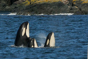 three killer whales looking up