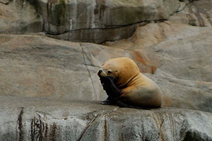 sea-lion scratching atop rocks