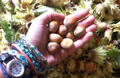 Hazelnut Garden Harvest